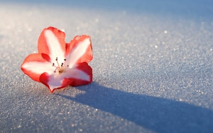 azalea-snow-flower-wide